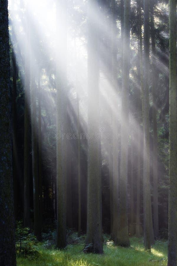 δασικές ελαφριές ακτίνε&si στοκ εικόνες