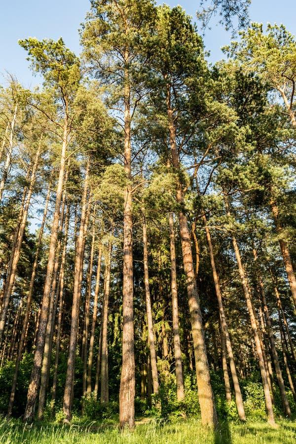Δασική άκρη πεύκων αναμμένη από τις ακτίνες του ήλιου ρύθμισης, τοπίο φύσης στοκ εικόνα