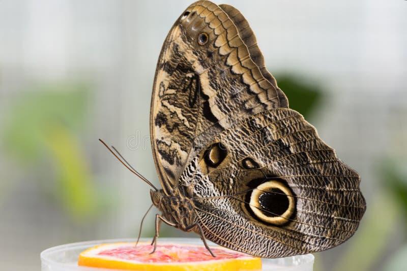 Δασική γιγαντιαία πεταλούδα κουκουβαγιών (Caligo Eurilochus) στοκ φωτογραφία με δικαίωμα ελεύθερης χρήσης
