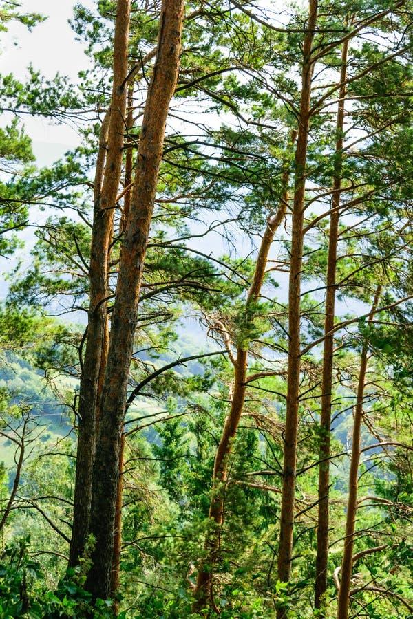 Δασική λεπτομέρεια κορμών δέντρων πεύκων στοκ εικόνες