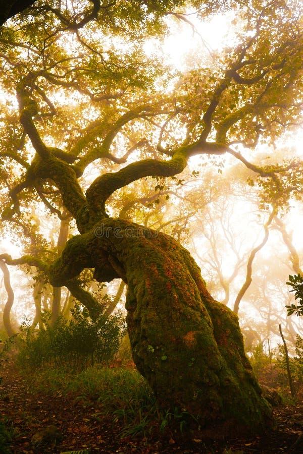 Δασική ομιχλώδης ημέρα, κόκκινο δρύινο δέντρο, κοσμικά ξύλα, φύση, πλανητάριο στοκ φωτογραφίες