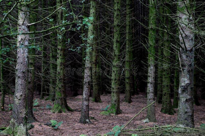 Δασικοί πάτωμα δέντρων πεύκων και κορμοί δέντρων στοκ εικόνα