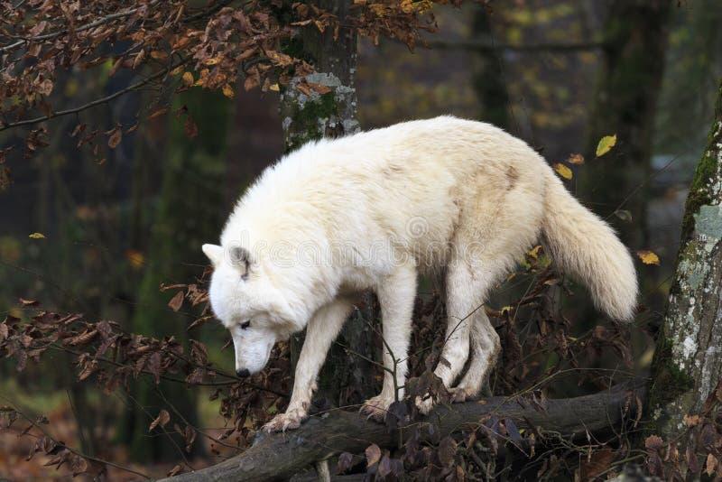 δασικός άσπρος λύκος στοκ εικόνες με δικαίωμα ελεύθερης χρήσης
