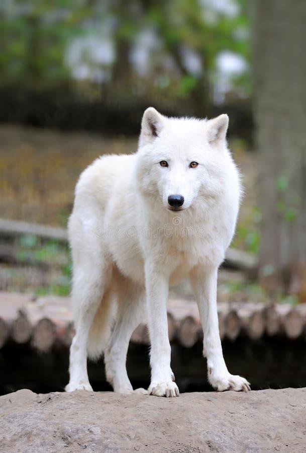δασικός άσπρος λύκος στοκ εικόνες