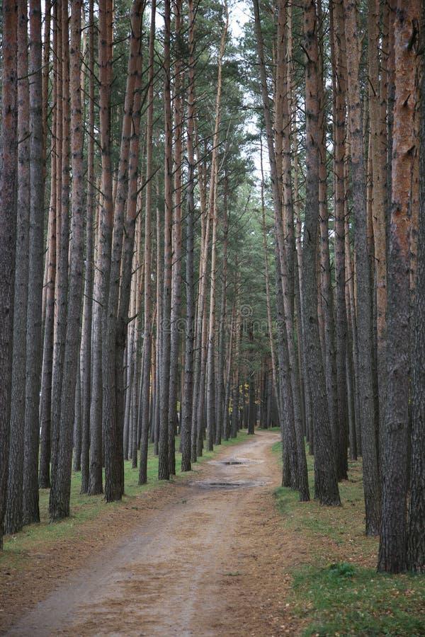 Δασικός δρόμος στα πεύκα κοντά στη δεξαμενή Zaslavsky, περιοχή του Μινσκ στοκ φωτογραφία