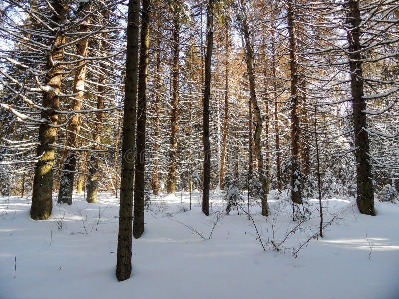 δασικός ηλιόλουστος χειμώνας στοκ εικόνα