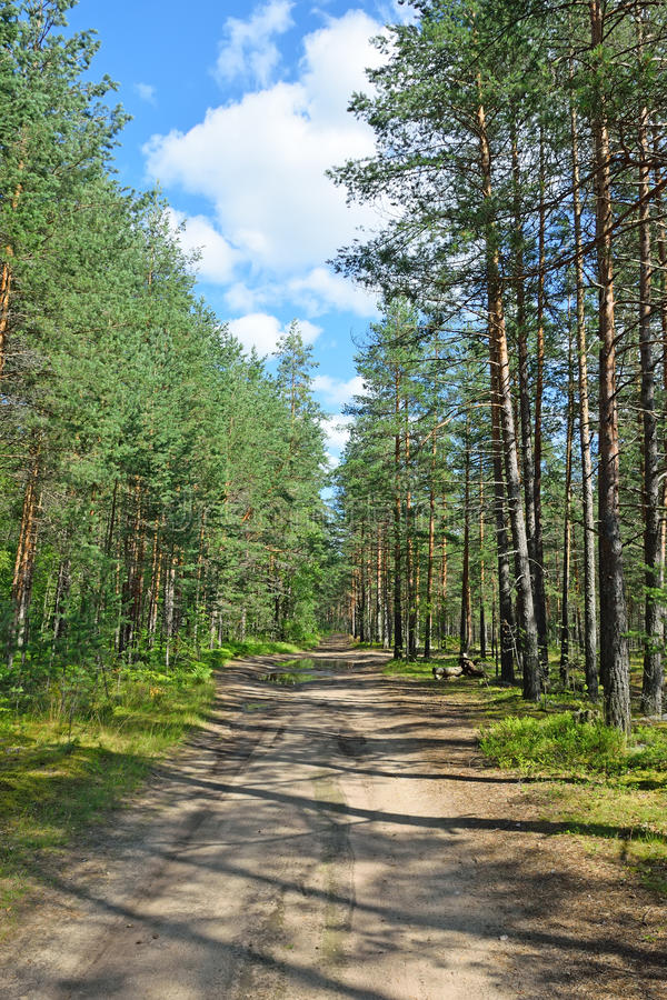 Δασικός δρόμος σε ένα δάσος πεύκων μια θερινή ημέρα κάτω από το μπλε ουρανό στοκ φωτογραφίες