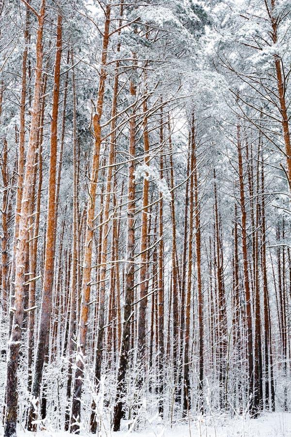 δασικός χειμώνας πεύκων χιόνι πεύκων 33c ural χειμώνας θερμοκρασίας της Ρωσίας τοπίων Ιανουαρίου στοκ φωτογραφία με δικαίωμα ελεύθερης χρήσης