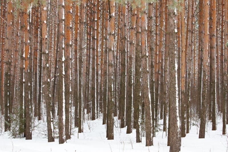δασικός χειμώνας πεύκων στοκ εικόνες