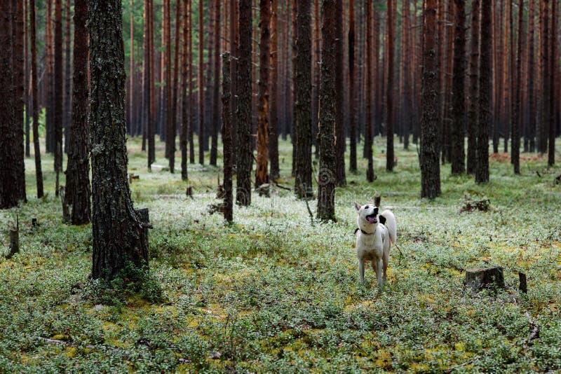 δασικό δέντρο πεύκων γουν στοκ εικόνα με δικαίωμα ελεύθερης χρήσης