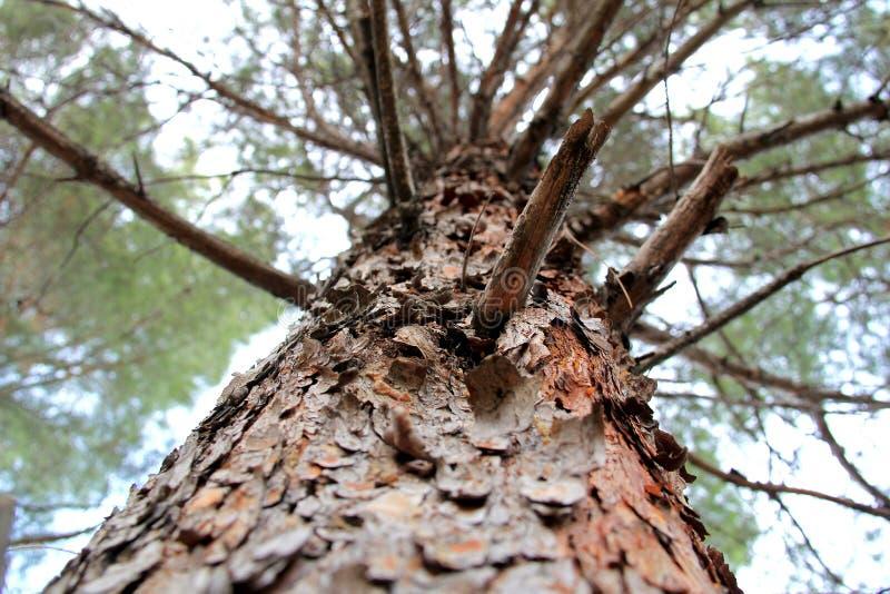 Δασικό δέντρο πεύκων κάτω από το ανοιχτό ουρανό στοκ εικόνα με δικαίωμα ελεύθερης χρήσης