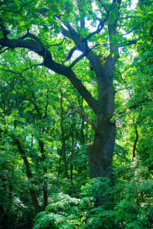 δασικό δέντρο στοκ φωτογραφίες