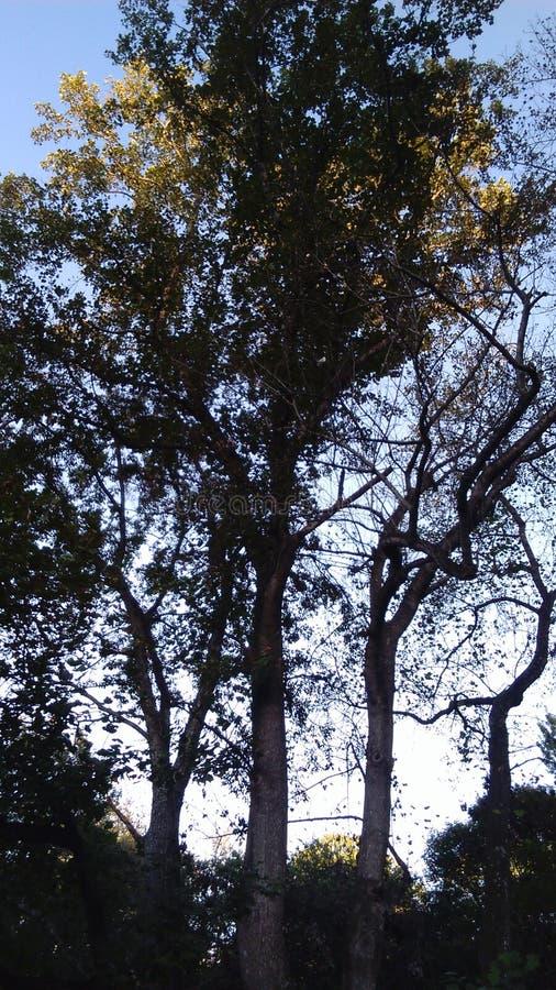 δασικό κορυφαίο δέντρο πεύκων στοκ εικόνα