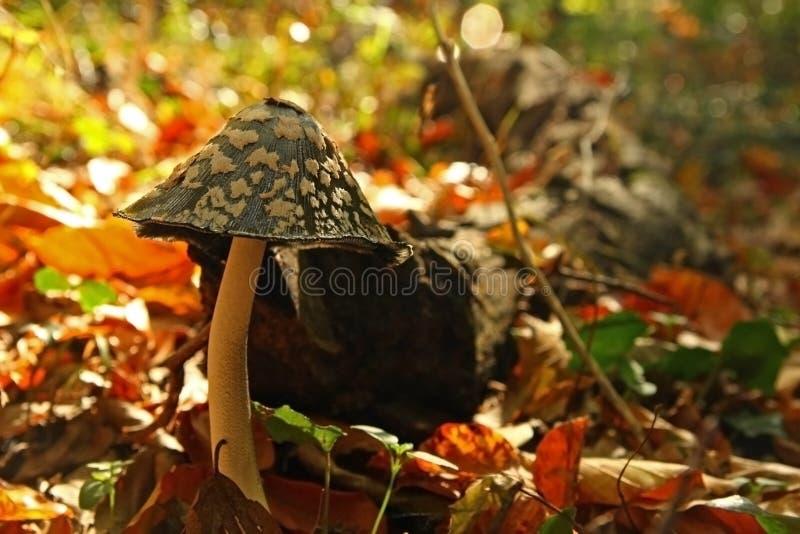 Download δασικό μανιτάρι φθινοπώρο&upsi Στοκ Εικόνες - εικόνα από τρόφιμα, δηλητήριο: 22791716