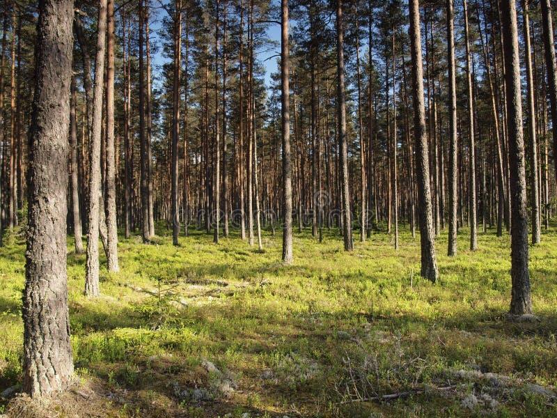 δασικό πεύκο της Εσθονία στοκ εικόνες με δικαίωμα ελεύθερης χρήσης