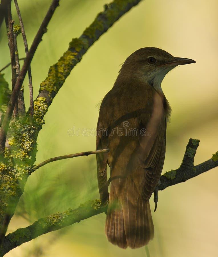 δασικό πνεύμα nightingale στοκ φωτογραφία με δικαίωμα ελεύθερης χρήσης