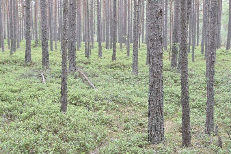 Δασικό τοπίο με το πεύκο στοκ φωτογραφία με δικαίωμα ελεύθερης χρήσης