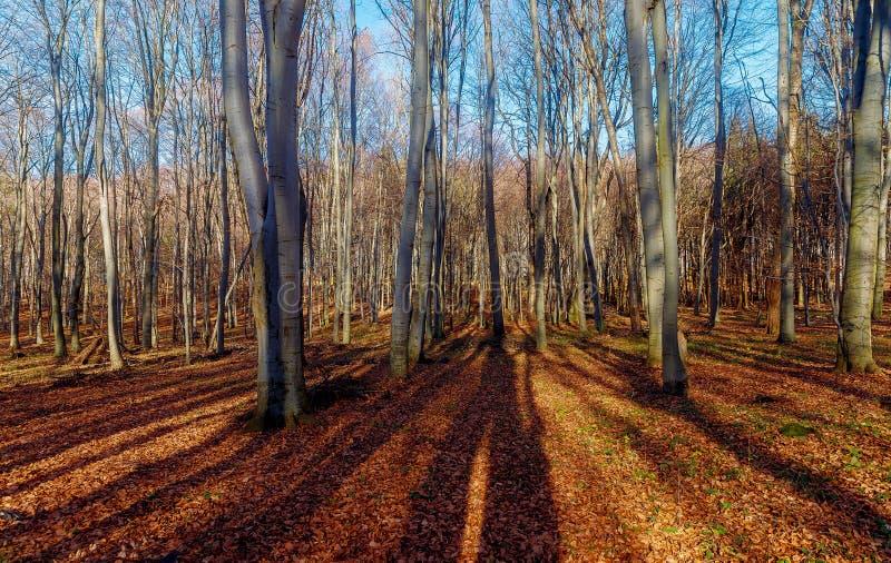 Δασικό τοπίο των δέντρων οξιάς στα τέλη του φθινοπώρου μετά από παγετό στοκ φωτογραφία με δικαίωμα ελεύθερης χρήσης