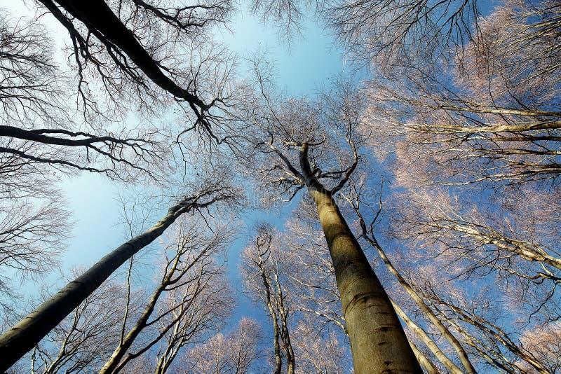 Δασικό τοπίο των δέντρων οξιάς στα τέλη του φθινοπώρου μετά από παγετό στοκ εικόνα