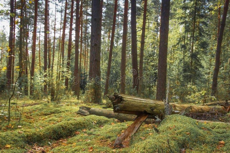 Δασικό δασικό τοπίο φύσης woodland Φυσική σκηνή του όμορφου πράσινου δάσους με το βρύο και τα δέντρα στοκ εικόνες με δικαίωμα ελεύθερης χρήσης