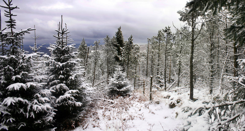 Download δασικό χιόνι σκηνής πεύκων στοκ εικόνες. εικόνα από δάσος - 103058