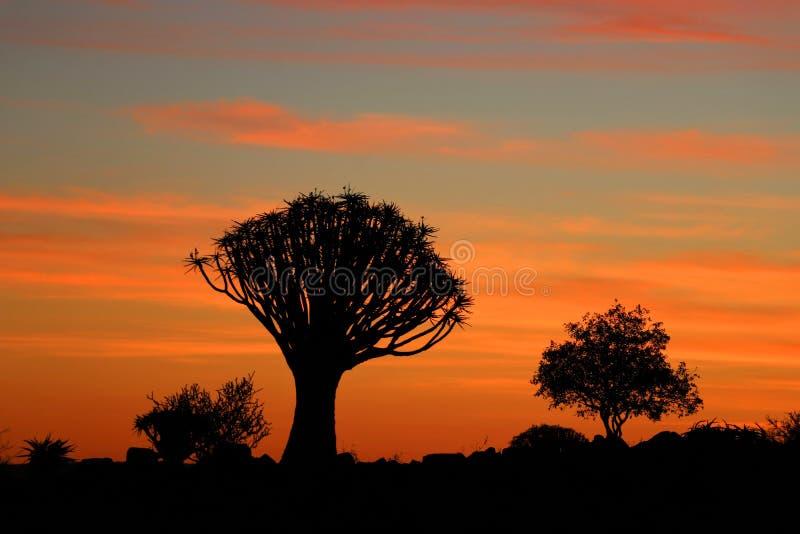 Δασικό Aloe δέντρων ρίγου - Ναμίμπια Αφρική στοκ εικόνες