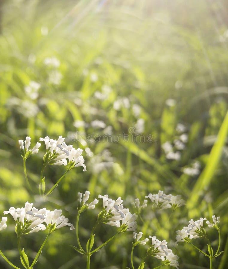 Δασικό Floral όμορφο υπόβαθρο λουλουδιών Τα άσπρα λουλούδια ανθίζουν σε ένα καθάρισμα στην ηλιοφάνεια στο ηλιοβασίλεμα μια θερινή στοκ εικόνα με δικαίωμα ελεύθερης χρήσης