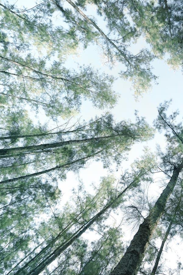 Δασικό, monotone χρώμα δέντρων πεύκων στοκ εικόνες