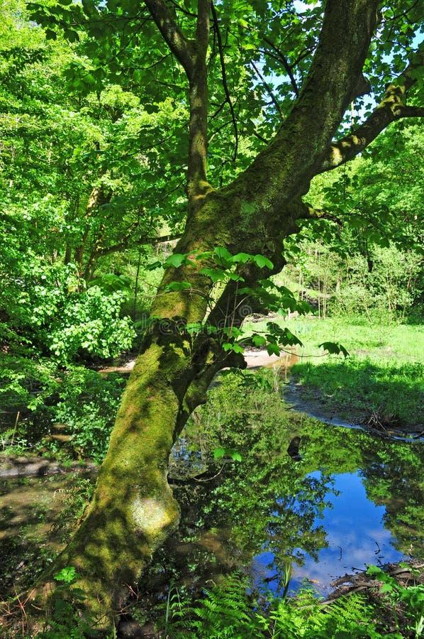 Δασόβια σκηνή άνοιξη με τα δονούμενα πράσινα δέντρα που προεξέχουν μια ήρεμη μπλε λίμνη και ένα δονούμενο πράσινο φύλλωμα στο φωτ στοκ εικόνες