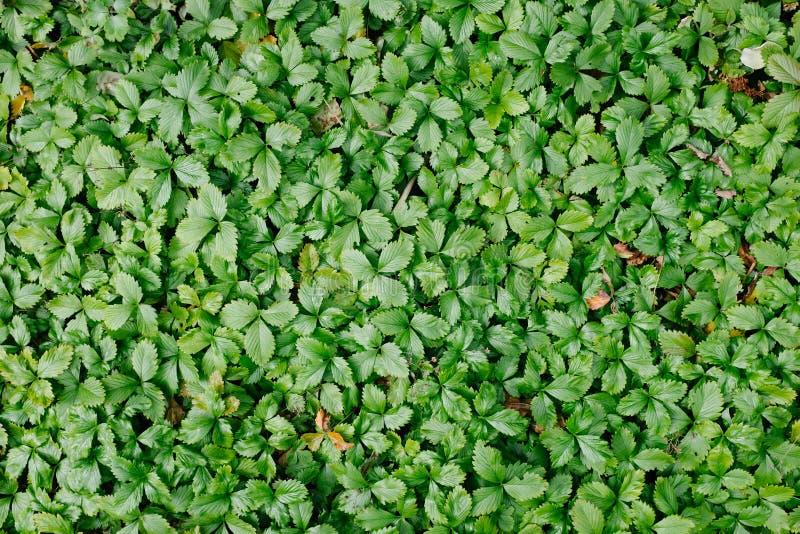 Δασόβιο υπόβαθρο φύλλων φραουλών στοκ εικόνες