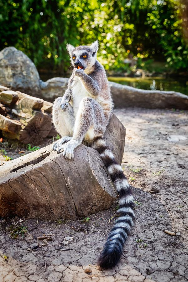 Δαχτυλίδι-παρακολουθημένος κερκοπίθηκος Catta ` κερκοπιθήκων ` στο πάρκο σαφάρι στοκ φωτογραφίες