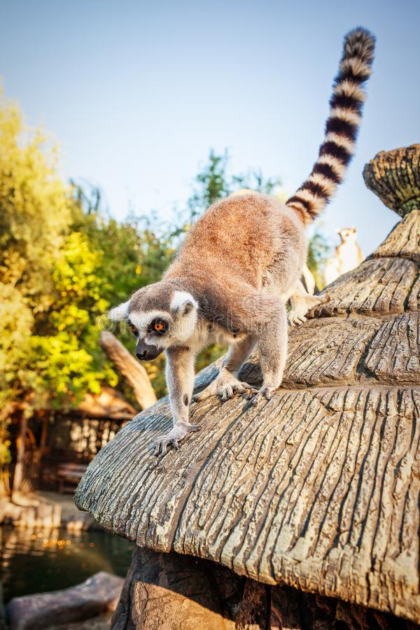 Δαχτυλίδι-παρακολουθημένος κερκοπίθηκος Catta ` κερκοπιθήκων ` στο σαφάρι-πάρκο στοκ εικόνες