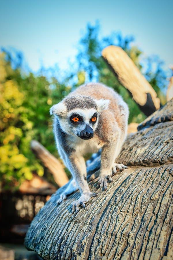 Δαχτυλίδι-παρακολουθημένος κερκοπίθηκος Catta ` κερκοπιθήκων ` στο σαφάρι-πάρκο στοκ φωτογραφίες με δικαίωμα ελεύθερης χρήσης