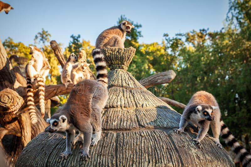 Δαχτυλίδι-παρακολουθημένος κερκοπίθηκος Catta ` κερκοπιθήκων ` στο σαφάρι-πάρκο στοκ φωτογραφία