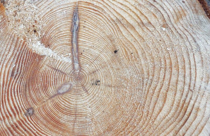 Δαχτυλίδια δέντρων ενός δέντρου πεύκων στοκ εικόνες με δικαίωμα ελεύθερης χρήσης