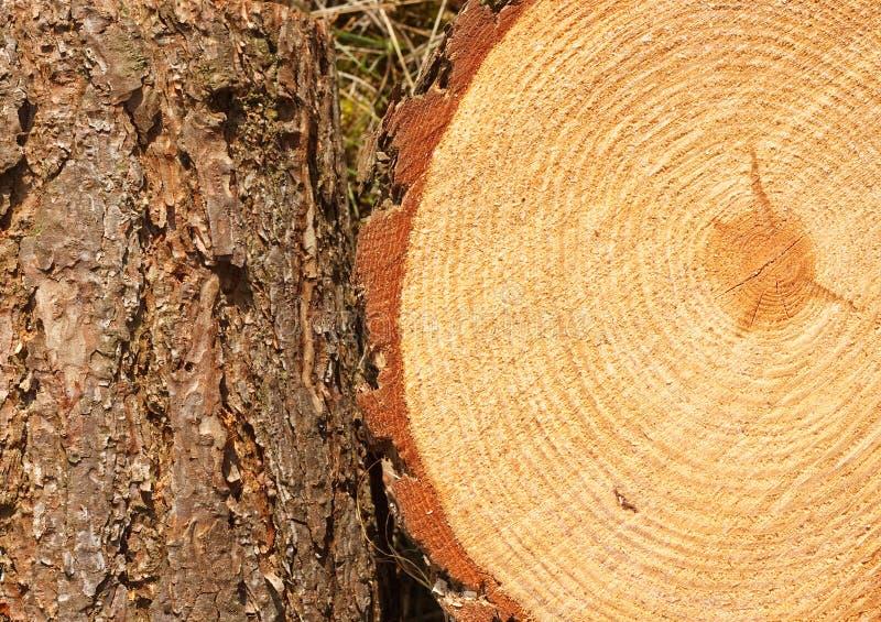 Δαχτυλίδια και κορμός δέντρων πεύκων στοκ εικόνα