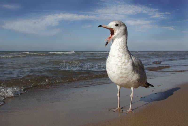 Δαχτυλίδι-τιμολογημένος γλάρος που καλεί Huron λιμνών την παραλία στοκ φωτογραφίες με δικαίωμα ελεύθερης χρήσης