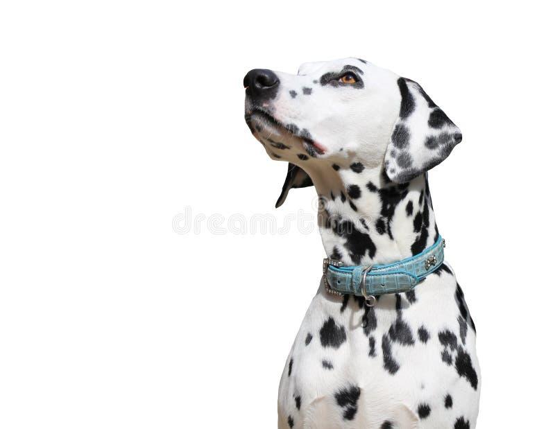 Δαλματικό σκυλί που απομονώνεται στο άσπρο υπόβαθρο στοκ εικόνες με δικαίωμα ελεύθερης χρήσης