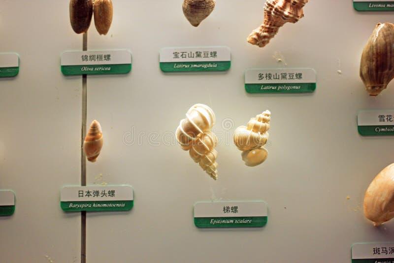 Δείγμα Conch στοκ φωτογραφία με δικαίωμα ελεύθερης χρήσης