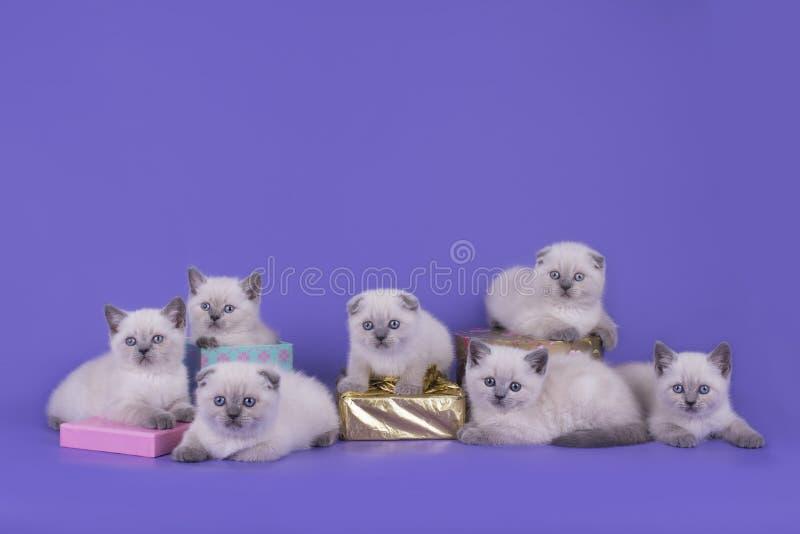 Δείξτε γατάκια λίγης τα σκωτσέζικα πτυχής σε ένα πορφυρό υπόβαθρο στοκ φωτογραφία με δικαίωμα ελεύθερης χρήσης