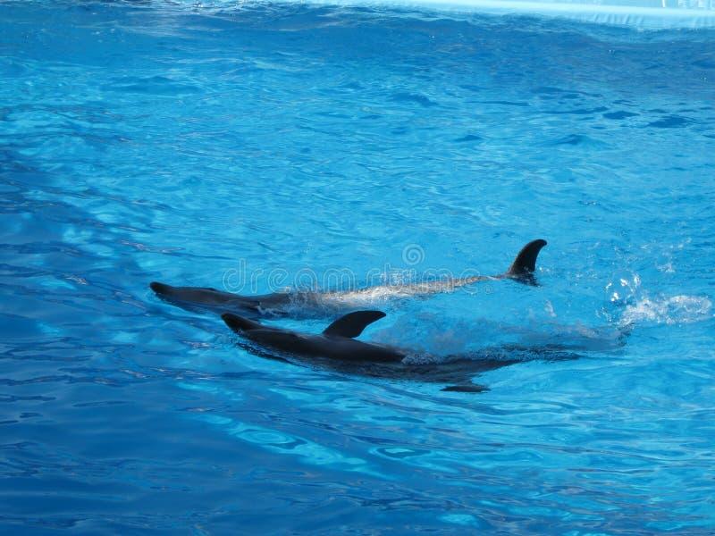 Δελφίνια σε ένα μπλε νερό στοκ εικόνα