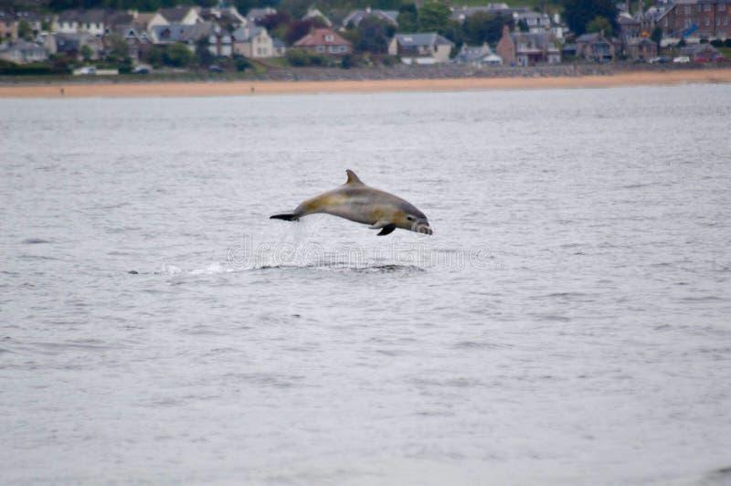 Δελφίνι παραβίασης στοκ εικόνες με δικαίωμα ελεύθερης χρήσης