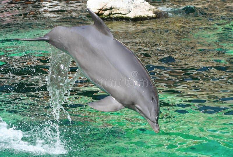 Δελφίνι Δωρεάν Στοκ Φωτογραφίες