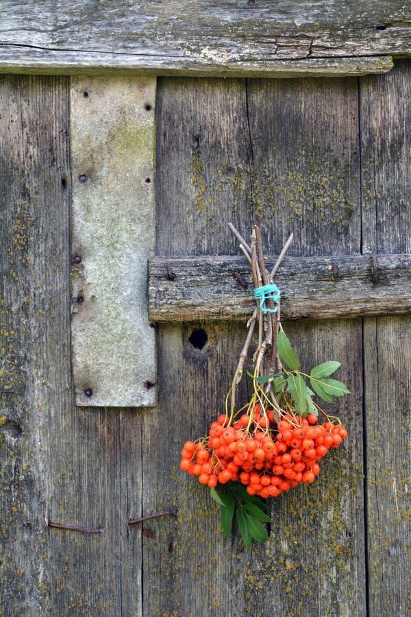 Δεμένα μούρα σορβιών στον παλαιό ξύλινο τοίχο στοκ φωτογραφία με δικαίωμα ελεύθερης χρήσης