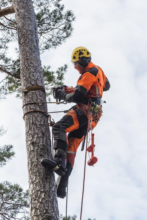 Δενδροκόμος που αναρριχείται και που κόβει σε ένα δέντρο στοκ εικόνες