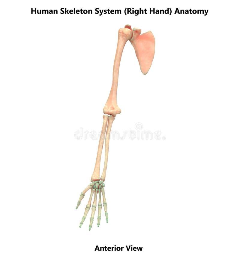 Δεξιά προηγούμενη ανατομία άποψης συστημάτων σκελετών ανθρώπινου σώματος διανυσματική απεικόνιση