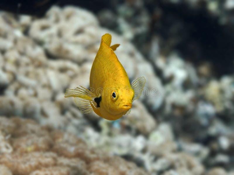 Δεσποινάριο & x28 θείου Pomacentrus sulfureus& x29  κίτρινα τροπικά ψάρια στο wa στοκ εικόνες