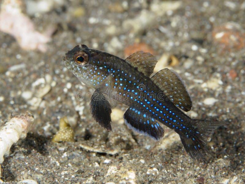 Δεσποινάριο του Μίλερ ` s ψαριών κοραλλιών στοκ φωτογραφίες