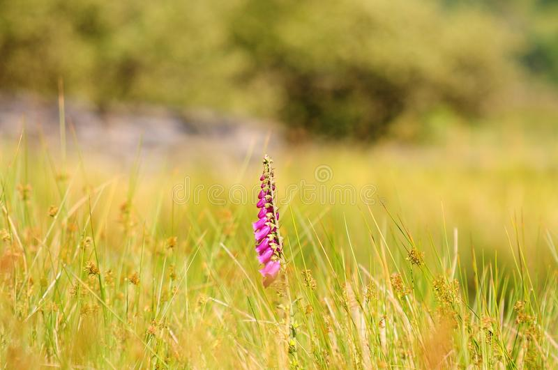 Δευτερεύον λουλούδι λιμνών Talyllyn στοκ εικόνα