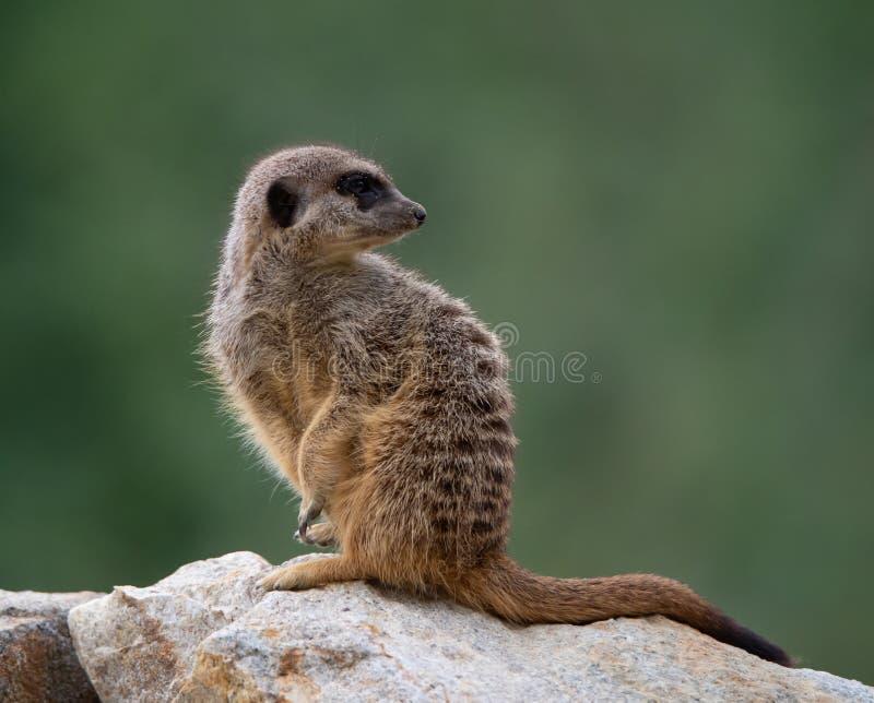 Δευτερεύον πορτρέτο προσώπου ενός meerkat σε ένα μουτζουρωμένο πράσινο υπόβαθρο στοκ φωτογραφίες με δικαίωμα ελεύθερης χρήσης